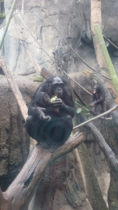 Baby Bonobo!